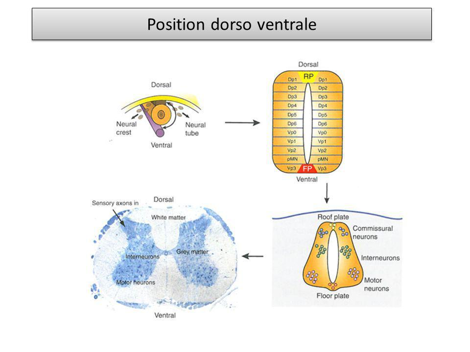 Position dorso ventrale