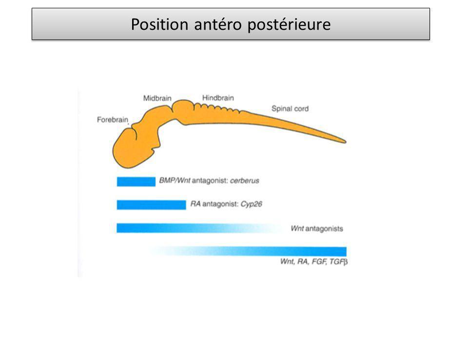 Position antéro postérieure