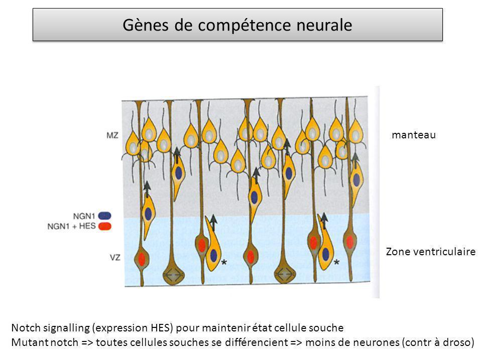 Gènes de compétence neurale