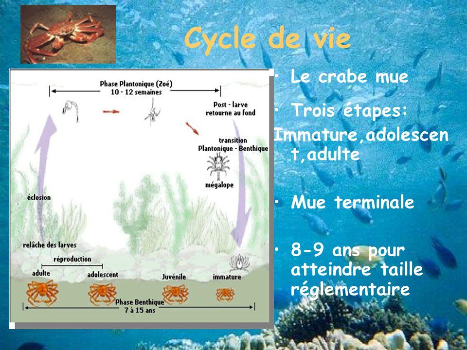 Cycle de vie Le crabe mue Trois étapes: Immature,adolescent,adulte