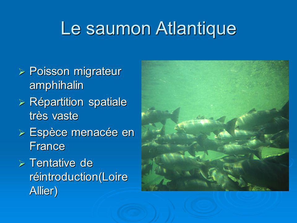Le saumon Atlantique Poisson migrateur amphihalin