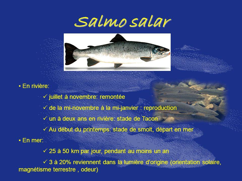 Salmo salar En rivière:  juillet à novembre: remontée