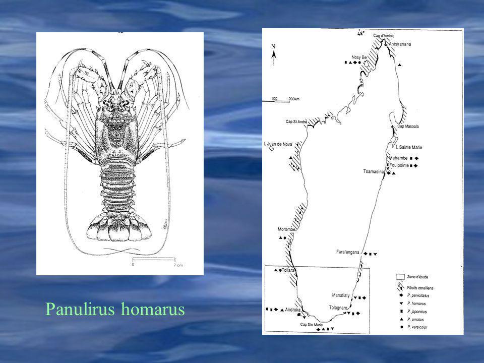Panulirus homarus