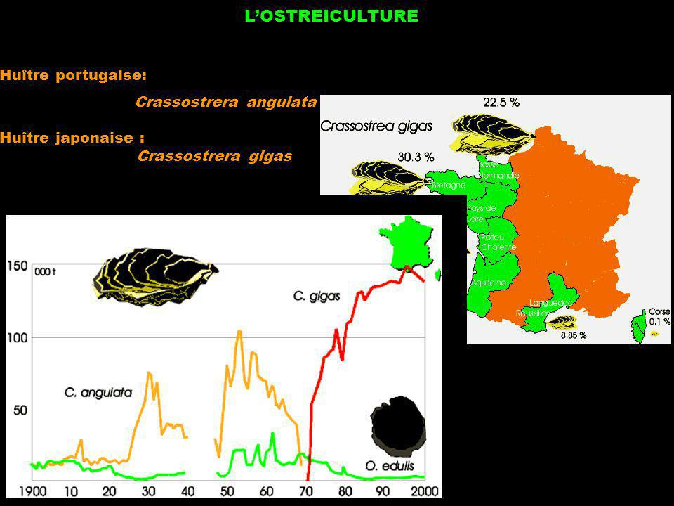L'OSTREICULTURE Huître portugaise: Crassostrera angulata