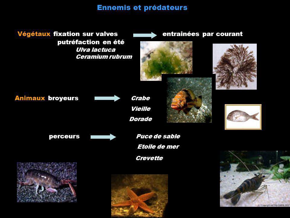 Animaux broyeurs Crabe