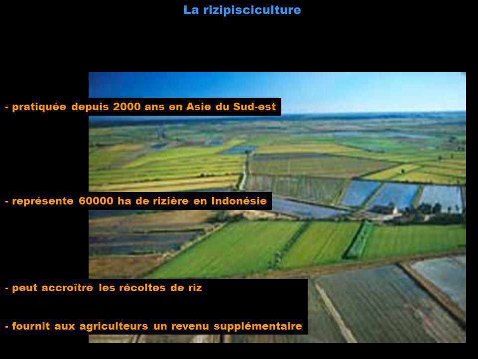 La rizipisciculture - pratiquée depuis 2000 ans en Asie du Sud-est