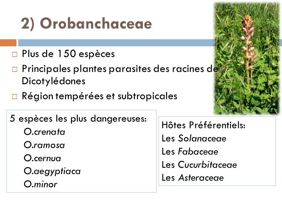 2) Orobanchaceae Plus de 150 espèces