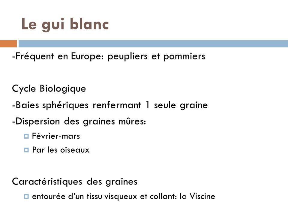 Le gui blanc -Fréquent en Europe: peupliers et pommiers