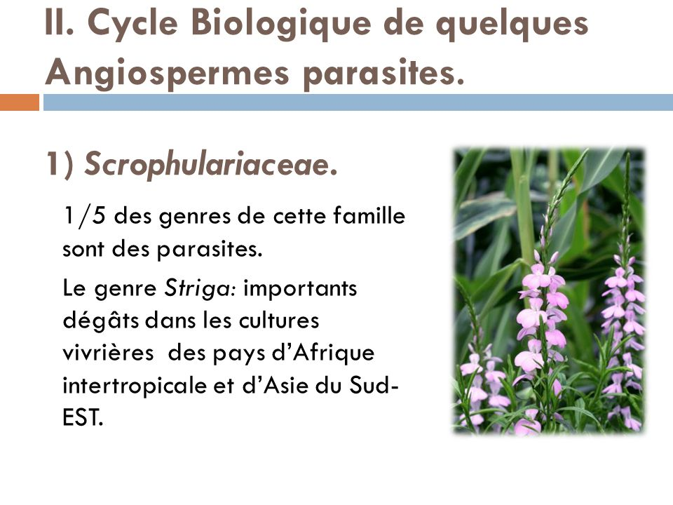 II. Cycle Biologique de quelques Angiospermes parasites