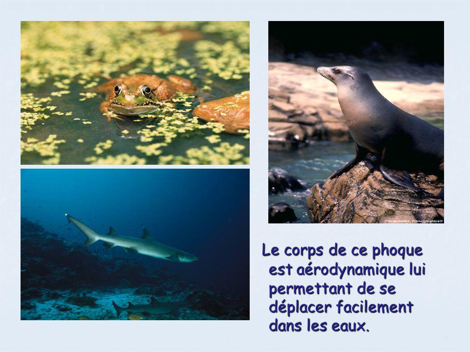 Le corps de ce phoque est aérodynamique lui permettant de se déplacer facilement dans les eaux.