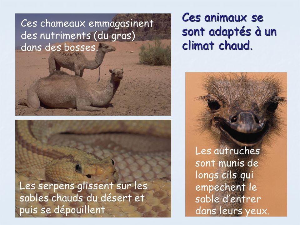 Ces animaux se sont adaptés à un climat chaud.