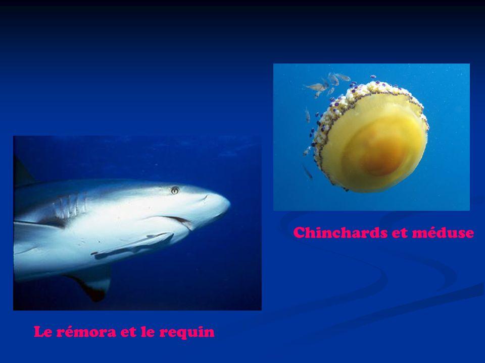 Chinchards et méduse Le rémora et le requin