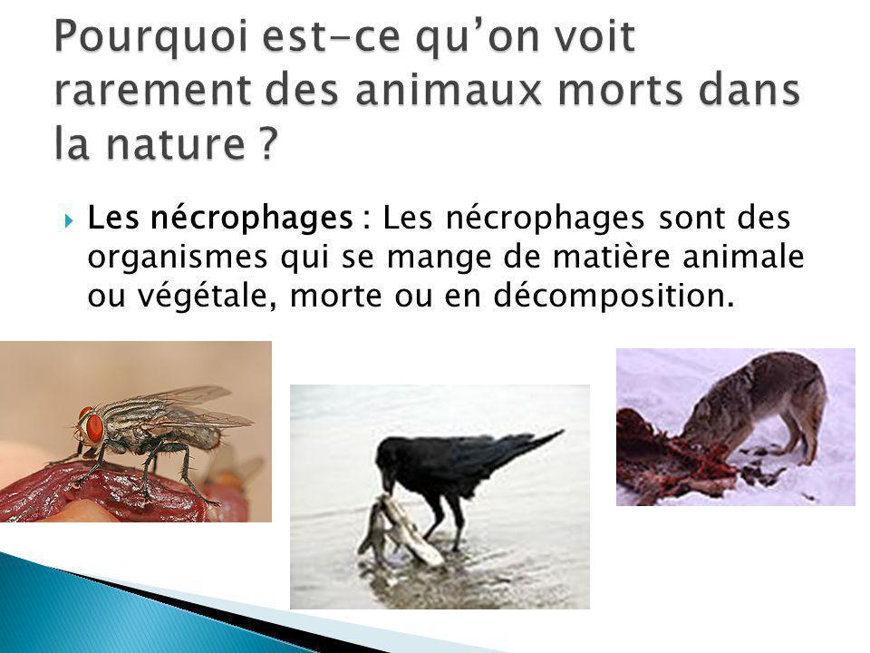 Pourquoi est-ce qu'on voit rarement des animaux morts dans la nature