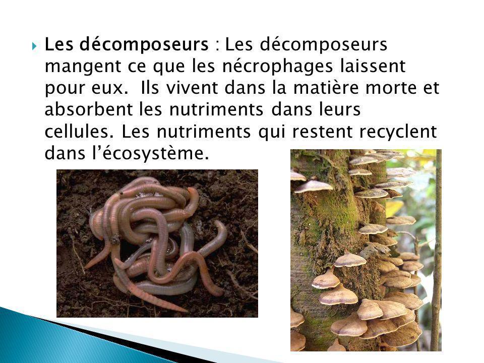 Les décomposeurs : Les décomposeurs mangent ce que les nécrophages laissent pour eux.