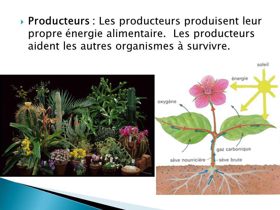 Producteurs : Les producteurs produisent leur propre énergie alimentaire.