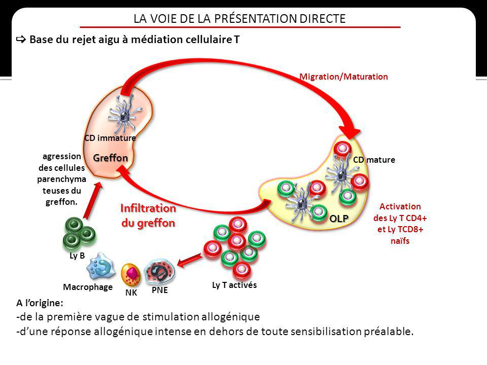 Migration/Maturation des Ly T CD4+ et Ly TCD8+ naïfs
