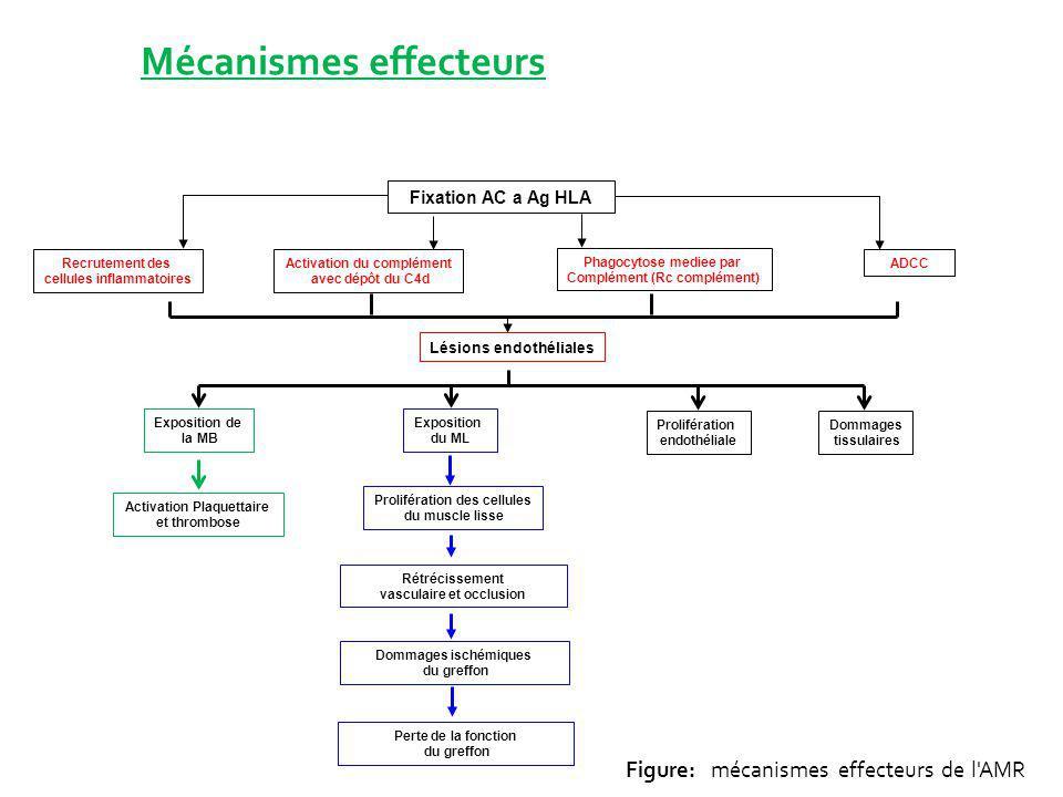 Mécanismes effecteurs