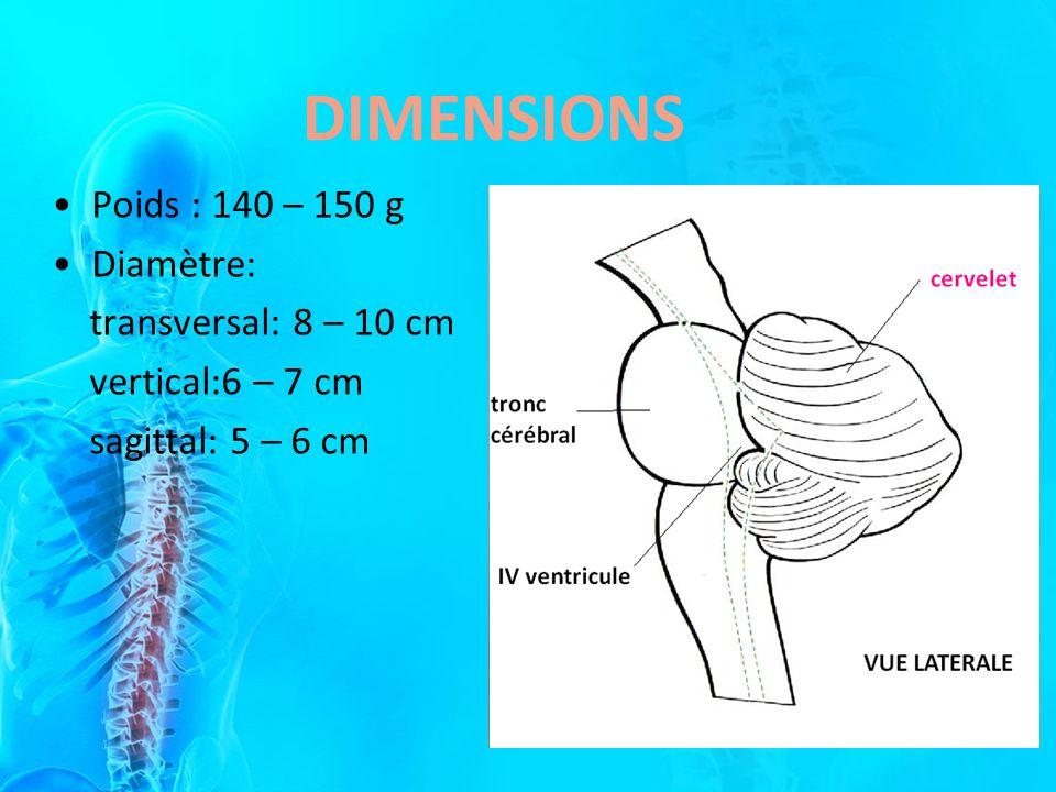 DIMENSIONS Poids : 140 – 150 g Diamètre: transversal: 8 – 10 cm