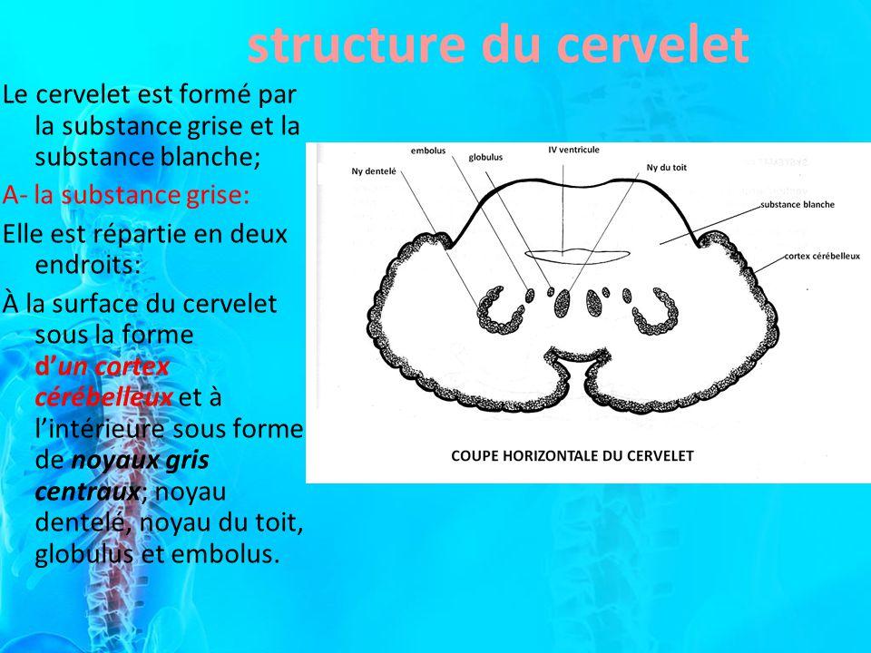 structure du cervelet