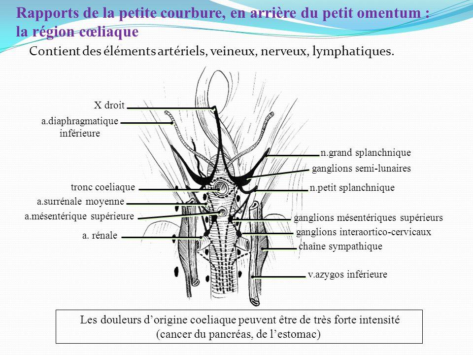 Rapports de la petite courbure, en arrière du petit omentum : la région cœliaque