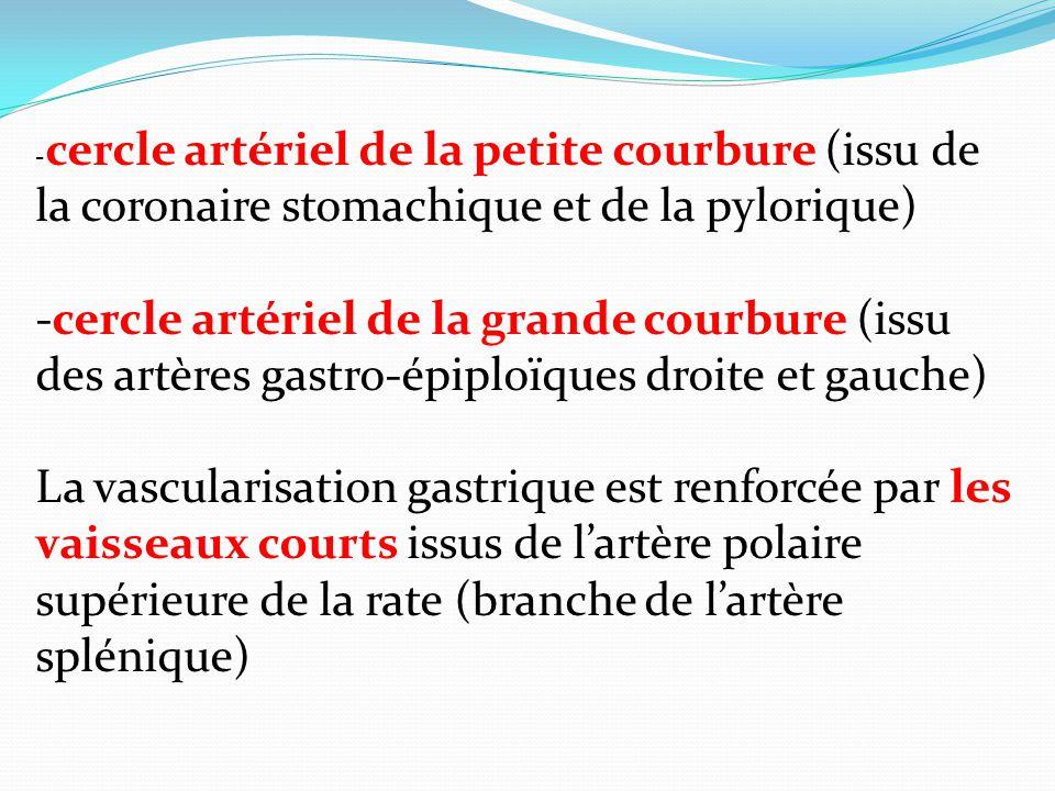 -cercle artériel de la petite courbure (issu de la coronaire stomachique et de la pylorique)