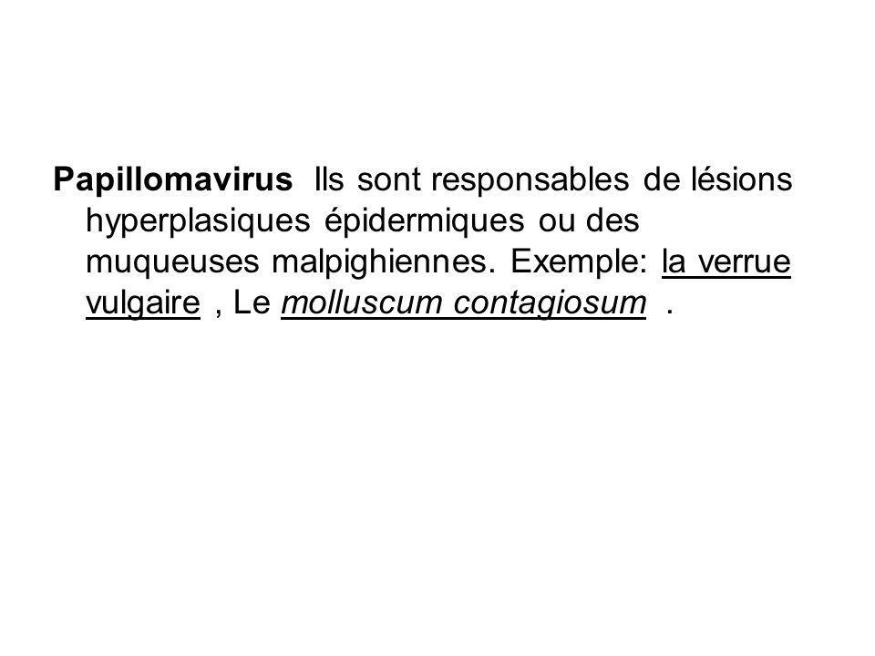 Papillomavirus Ils sont responsables de lésions hyperplasiques épidermiques ou des muqueuses malpighiennes.