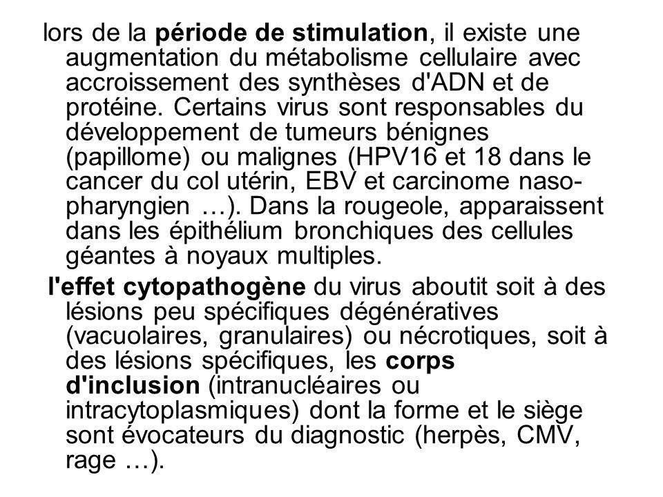 lors de la période de stimulation, il existe une augmentation du métabolisme cellulaire avec accroissement des synthèses d ADN et de protéine. Certains virus sont responsables du développement de tumeurs bénignes (papillome) ou malignes (HPV16 et 18 dans le cancer du col utérin, EBV et carcinome naso-pharyngien …). Dans la rougeole, apparaissent dans les épithélium bronchiques des cellules géantes à noyaux multiples.