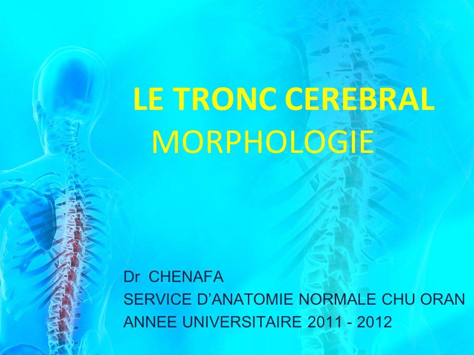 LE TRONC CEREBRAL MORPHOLOGIE