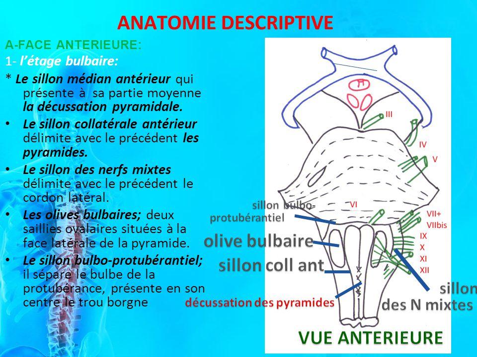 VUE ANTERIEURE ANATOMIE DESCRIPTIVE olive bulbaire sillon coll ant