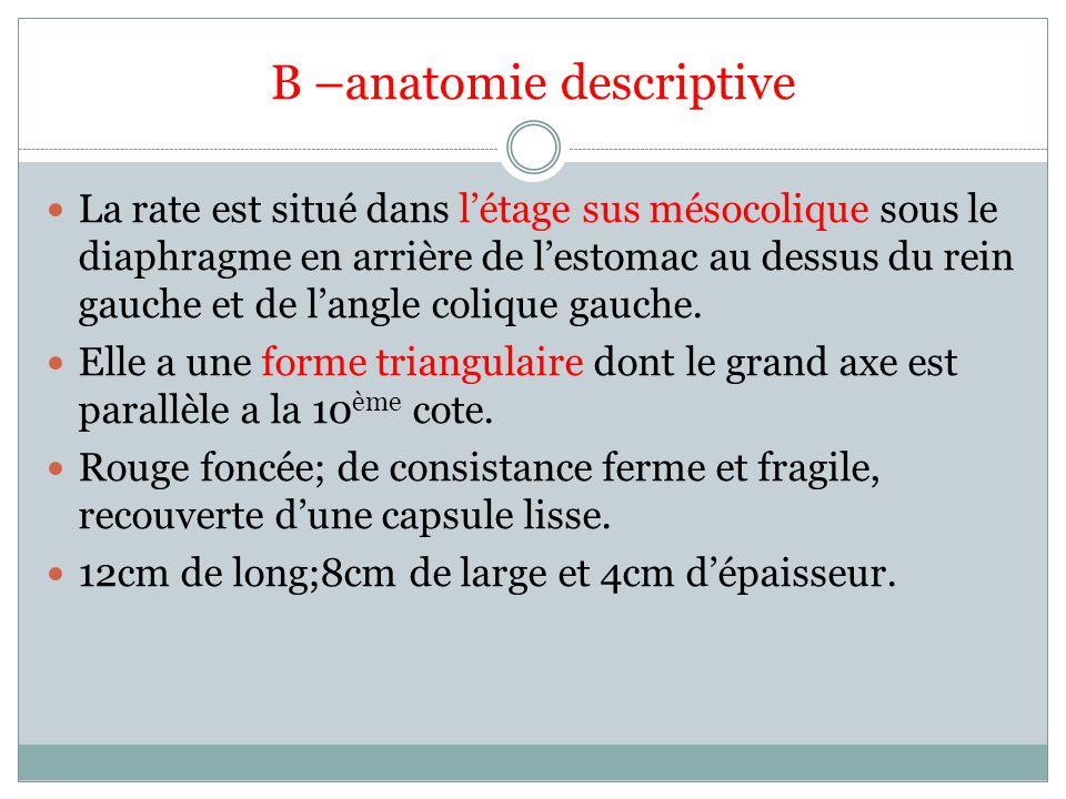 B –anatomie descriptive