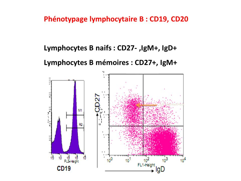 Phénotypage lymphocytaire B : CD19, CD20