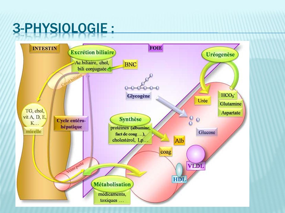 3-physiologie :