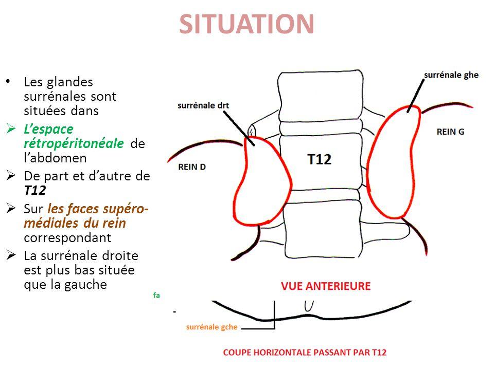 SITUATION Les glandes surrénales sont situées dans