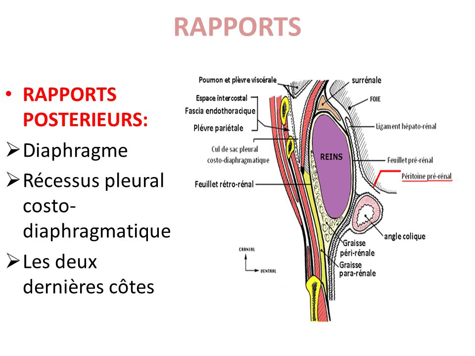 RAPPORTS RAPPORTS POSTERIEURS: Diaphragme