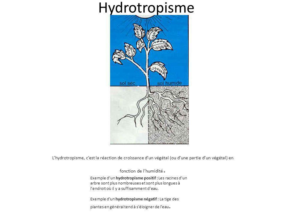Hydrotropisme L'hydrotropisme, c'est la réaction de croissance d'un végétal (ou d'une partie d'un végétal) en fonction de l'humidité.