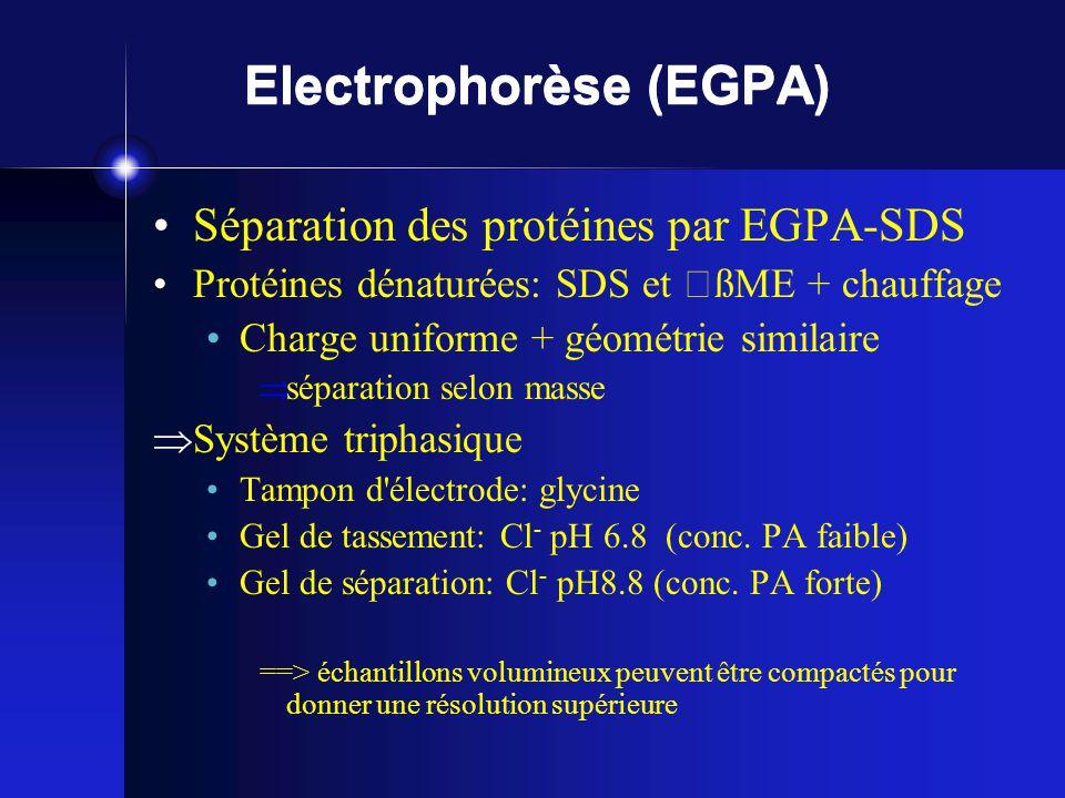 Electrophorèse (EGPA)