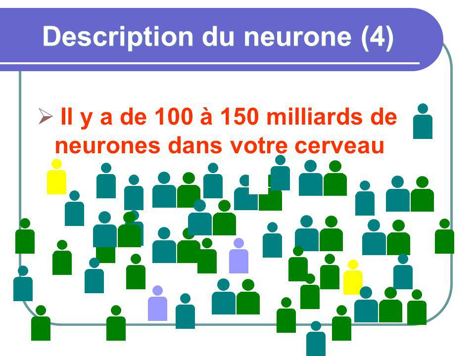 Description du neurone (4)