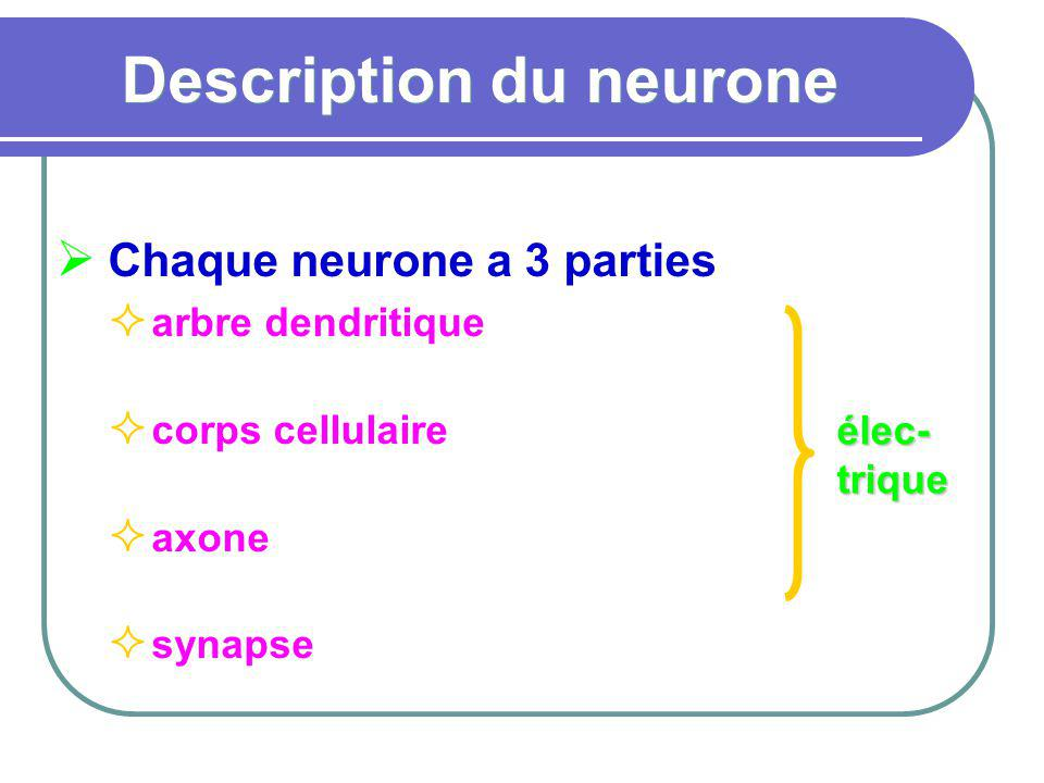 Description du neurone