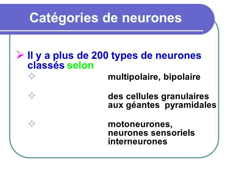 Catégories de neurones