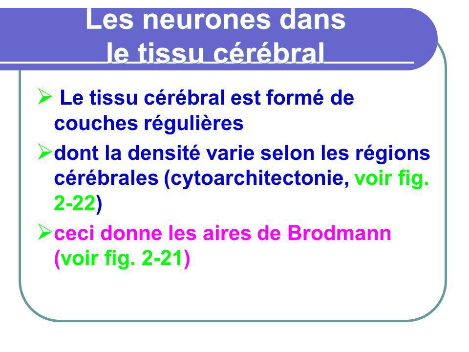 Les neurones dans le tissu cérébral