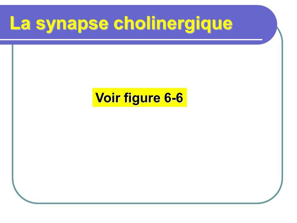 La synapse cholinergique