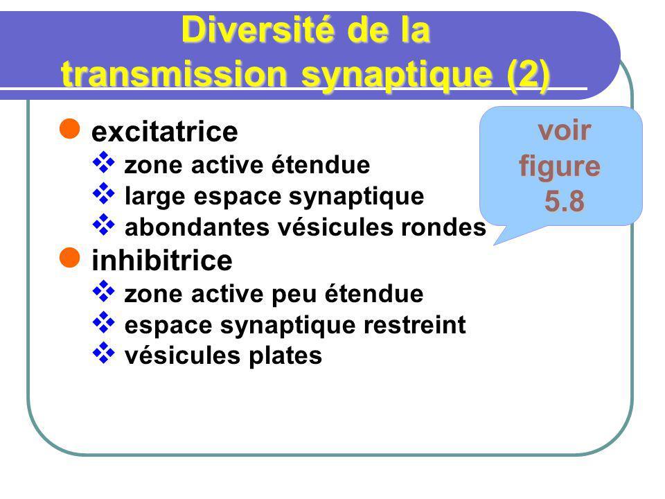 Diversité de la transmission synaptique (2)