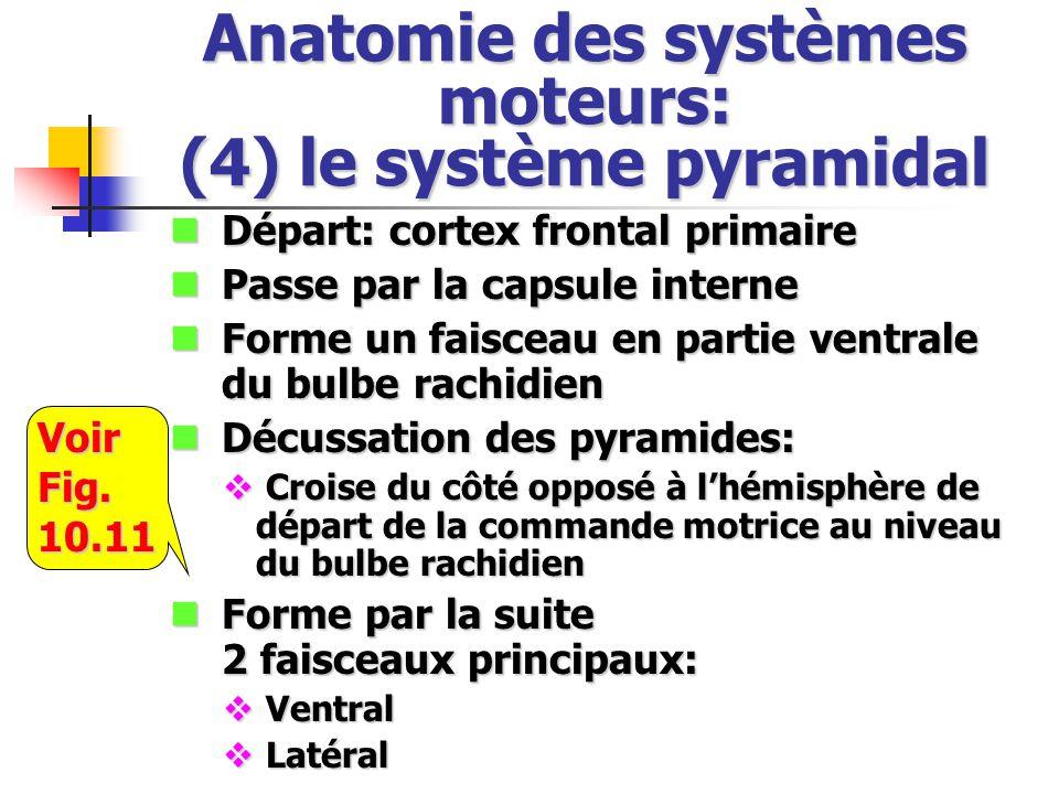 Anatomie des systèmes moteurs: (4) le système pyramidal