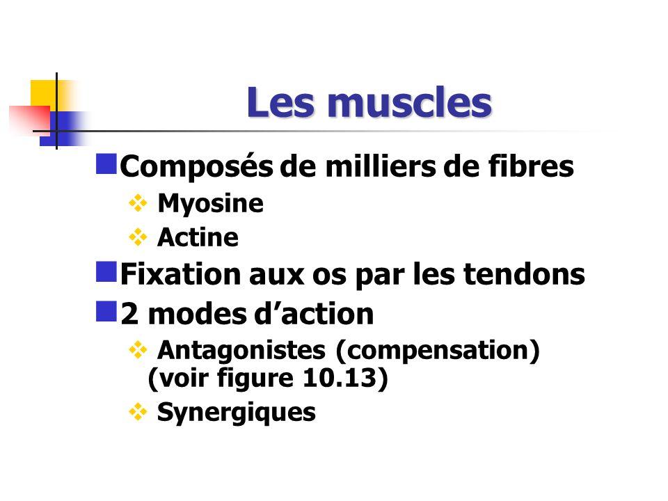 Les muscles Composés de milliers de fibres