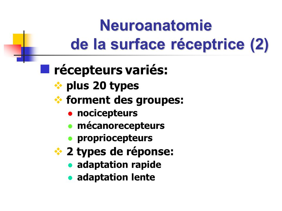Neuroanatomie de la surface réceptrice (2)