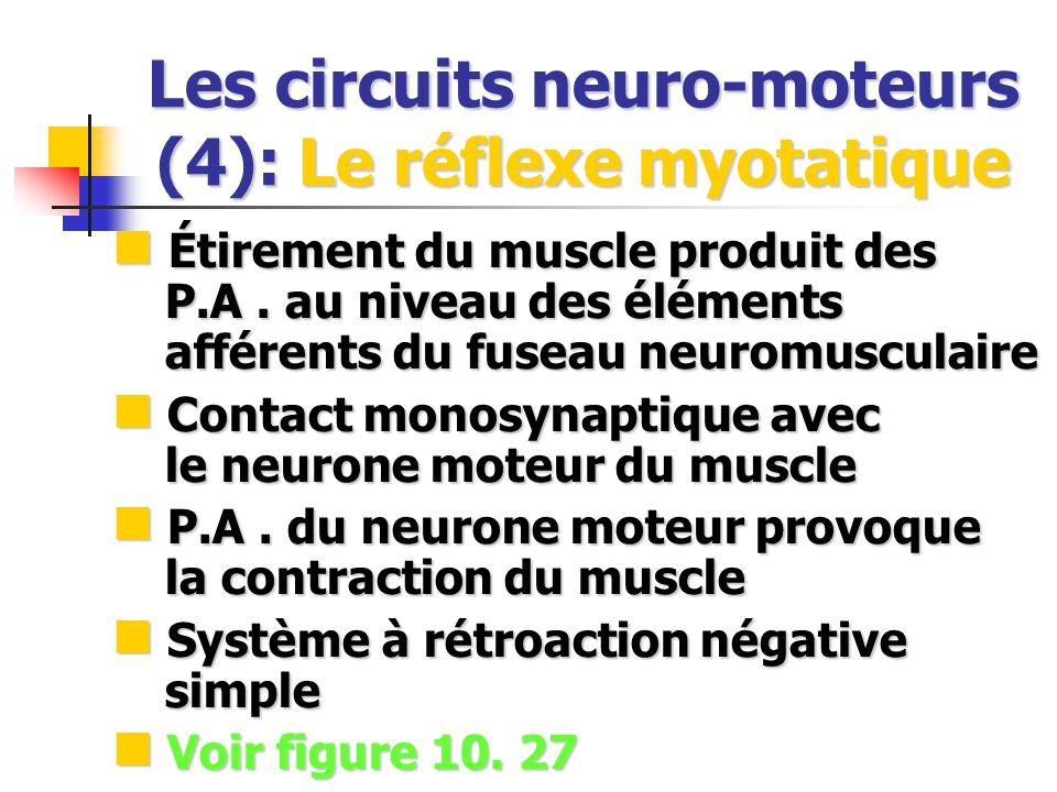 Les circuits neuro-moteurs (4): Le réflexe myotatique