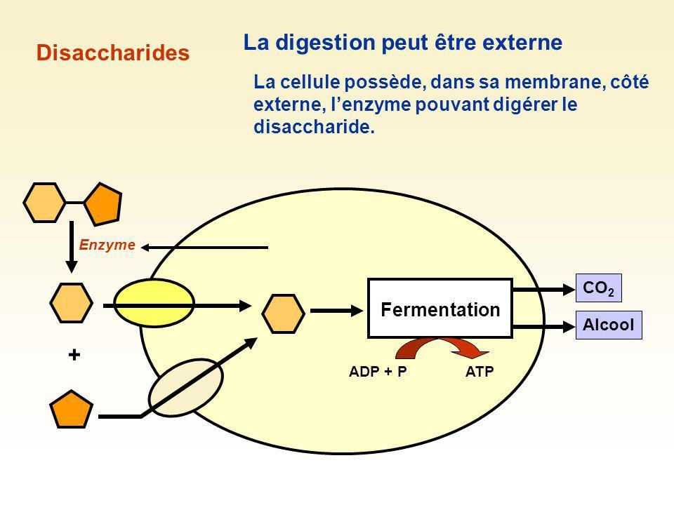 La digestion peut être externe Disaccharides