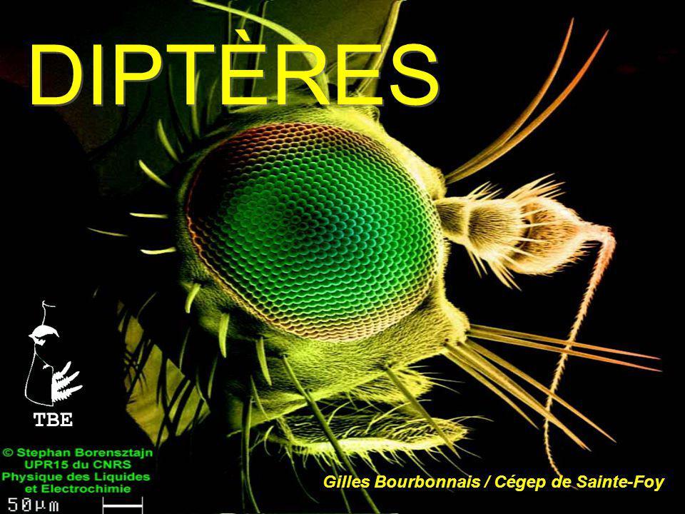 DIPTÈRES TBE Gilles Bourbonnais / Cégep de Sainte-Foy