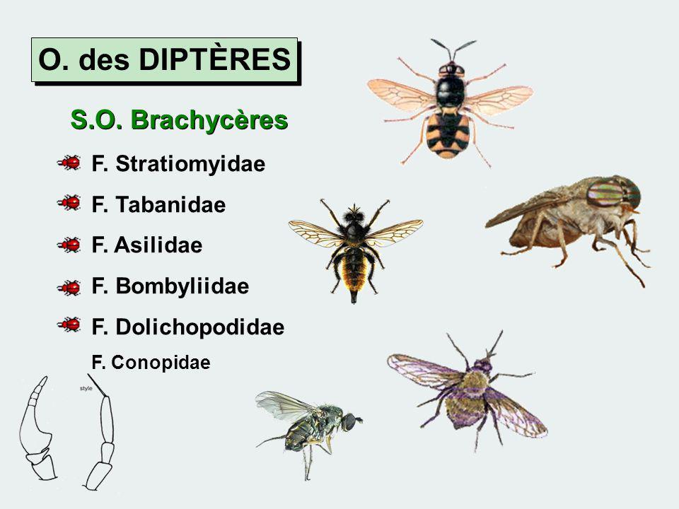 O. des DIPTÈRES S.O. Brachycères F. Stratiomyidae F. Tabanidae