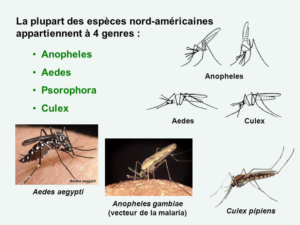 Anopheles gambiae (vecteur de la malaria)